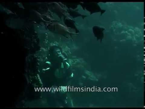 Scuba diver with school of fish in Indian Ocean