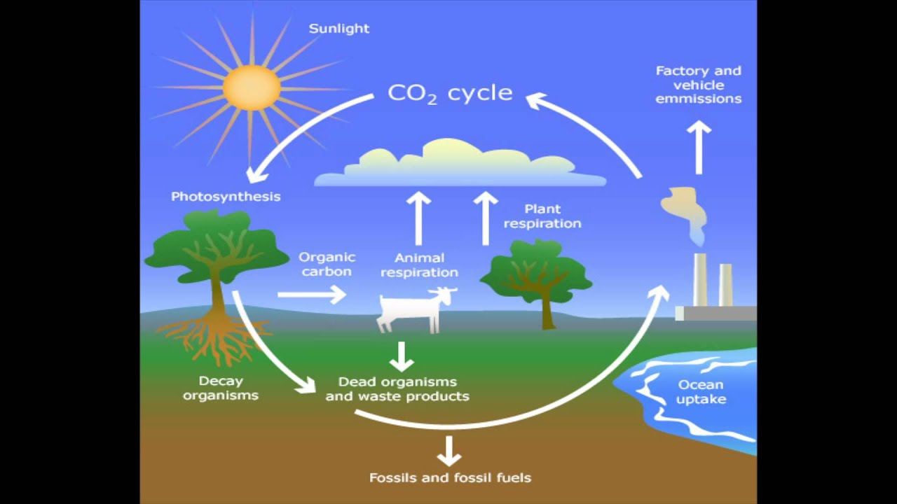 carbon cycle 1 Carbon, the fourth most abundant element in the universe, moves between the atmosphere, oceans, biosphere, and geosphere in what is called the carbon cycle  this module provides an overview of the global carbon cycle, one of the major biogeochemical cycles the module explains geological and biological components of the cycle.
