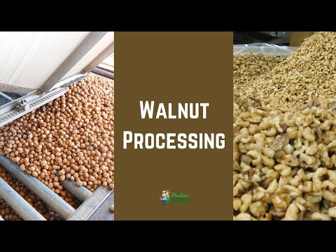 How Walnuts Are Hulled, Stored, Shelled & Pasteurized