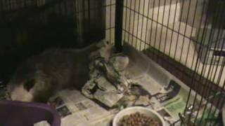 Male opossum tail-rolling behavior
