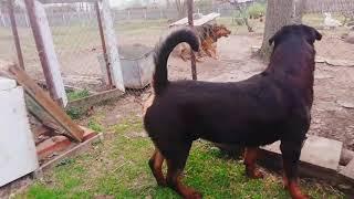 ДВА РОТВЕЙЛЕРА И ДАЧНЫЕ СОБАКИ.Воспитание и дрессировка собак.Ротвейлер день за днем