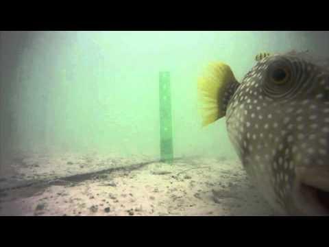 Puffer (Arothron hispidis), Palmyra Atoll