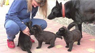 ЩЕНКИ Черной Немецкой Овчарки. Puppies black German Shepherd. Одесса.