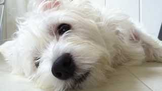 West Highland White Terrier Westy Yukkiy could not sleep. 寝かせて...