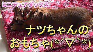 【ミニチュアダックス】ナツちゃん、オモチャ遊び(*´▽`*)