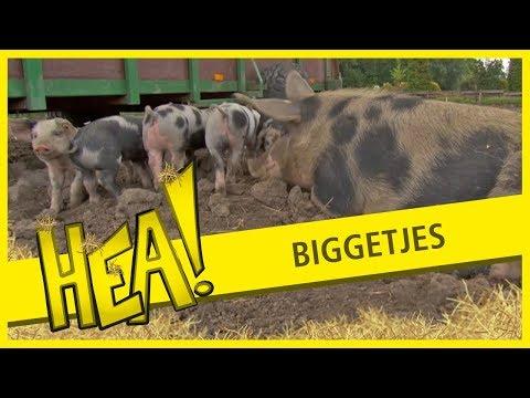 HEA! Biggetjes