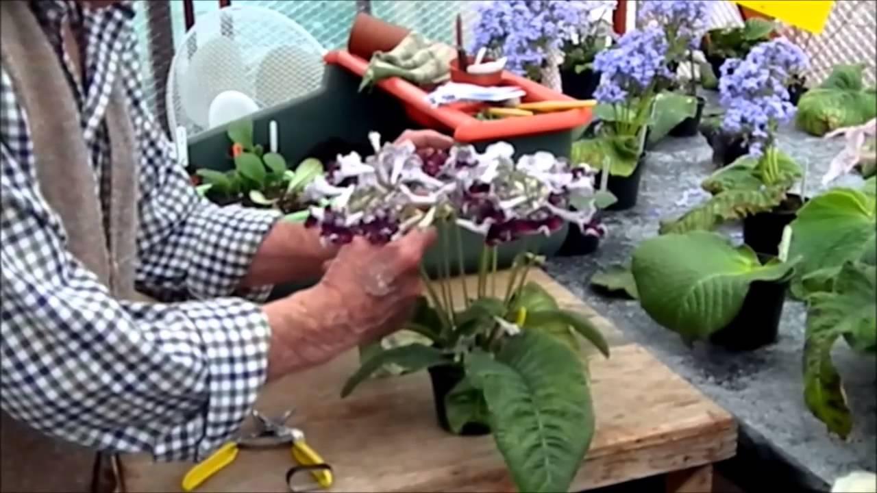 Presenting Or Dressing A Streptocarpus Plant