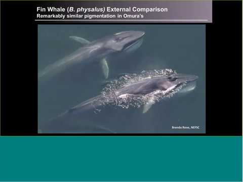 Discovering the Omura's whale: ecology and conservation of the newest baleen whale species