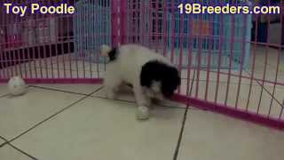 Toy Poodle, Puppies, For, Sale, In, New Orleans, Louisiana, LA, Jefferson, Bayou Blue, Moss Bluff, W