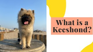 We Got a Rare Dog Breed: What is a Keeshond?