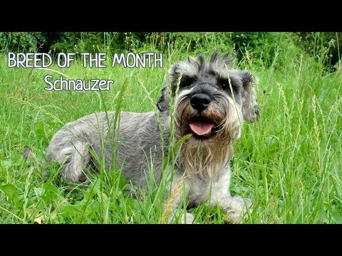 Breed of the month: Miniature Schnauzer