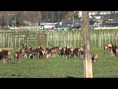 Deer Farming in the Manawatu