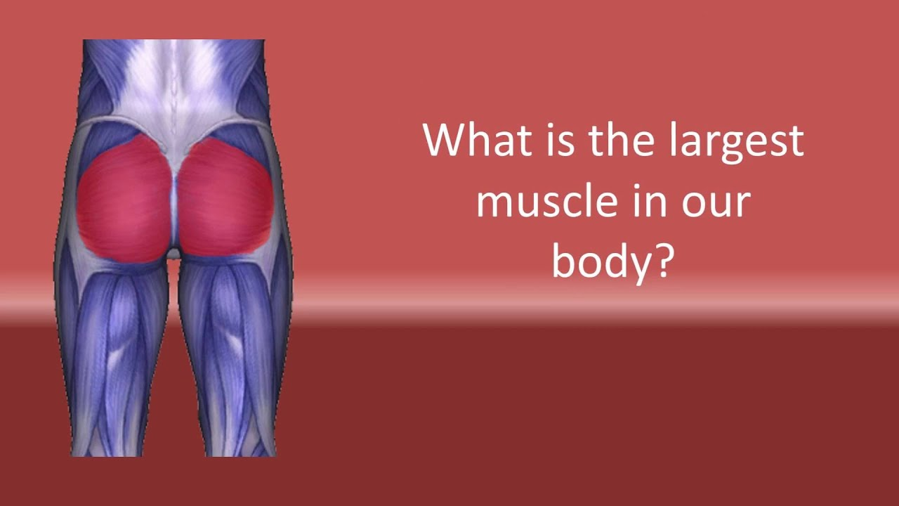 What Is The Biggest Muscle In Our Body Youtube