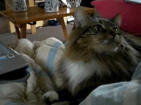 Fluffy Maine Coon Manx cat kneading away