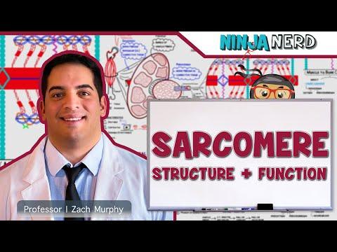 Myology | Myofibril: Sarcomere Structure