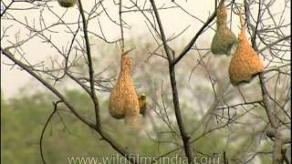 A nesting colony of Baya Weaver birds