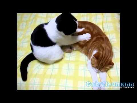 Lustige Katzen Videos _ Katze Lustige Videos zum totlachen #12