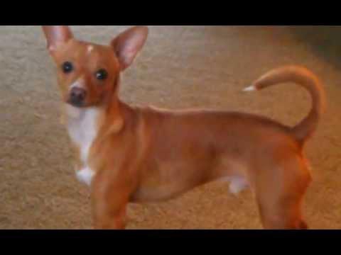 Jaxon, Chihuahua-Basenji chases tail - YouTube