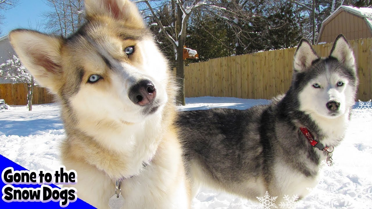 Things Husky Owners Say Things All Husky Owners Would Understand