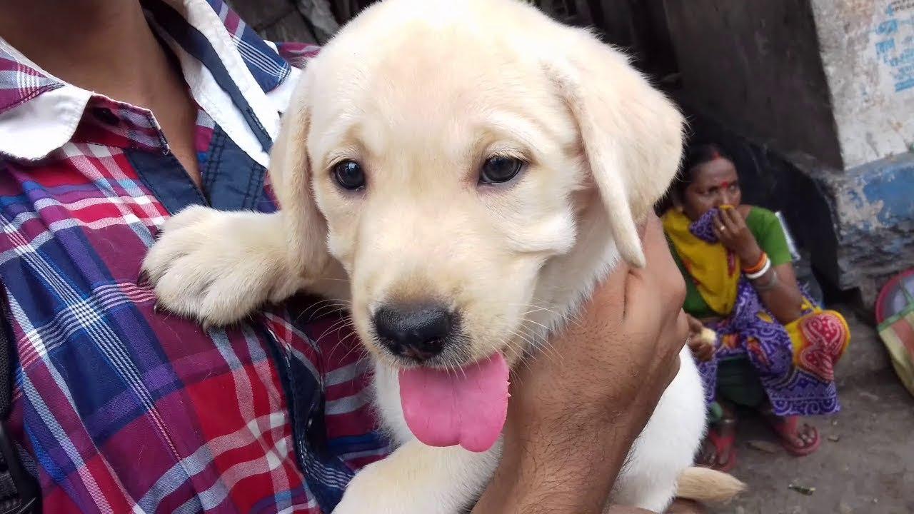 Labrador Puppy And New Owner At Galiff Street Pet Market Kolkata
