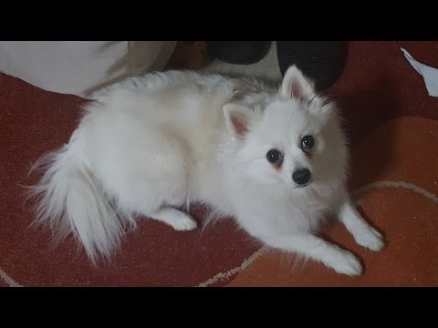 German Spitz (small): Mother and daughter are having fun....