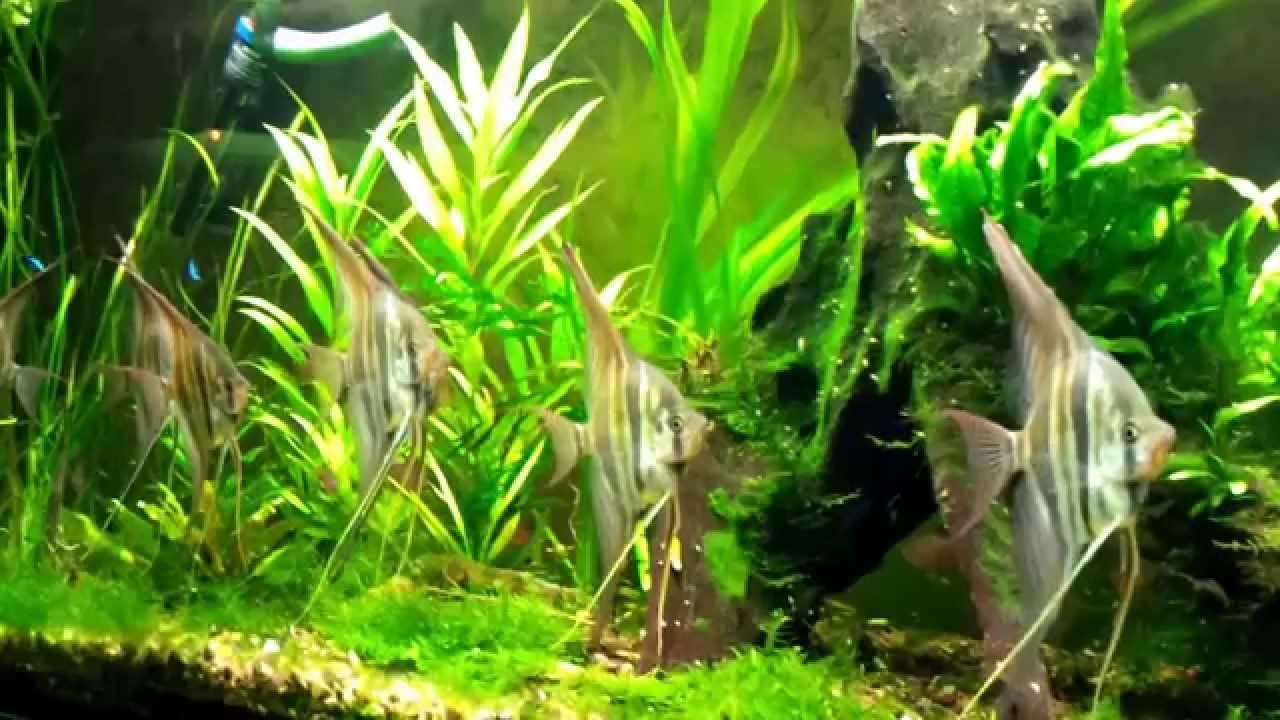 Orinoco altum skalar youtube for Skalar aquarium