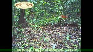 Red Muntjac - Elephant Hills and Rainforest Camp