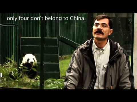 Pandas in Chapultepec Zoo