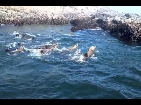 Sea Lions Washington Fishing La Push