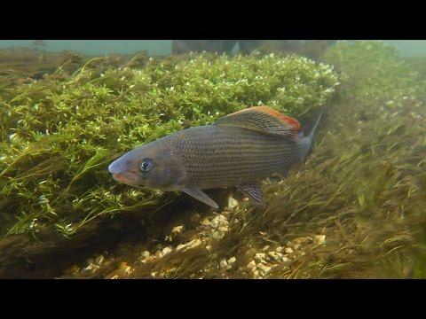 Fly Fishing for BIG Chalkstream Grayling