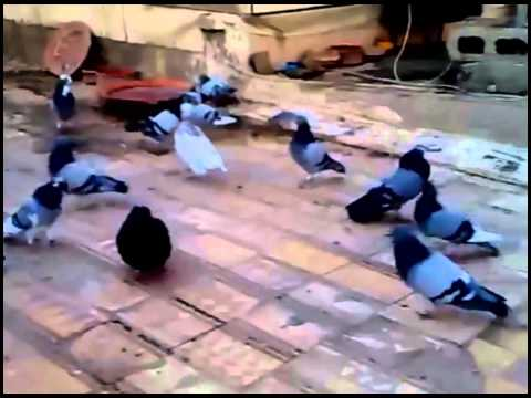 "Elevage de Pigeons ""Marrakech""- 2 ـ برنامج الحومة القديمة- تربية الحمام في مراكش - الجزء"