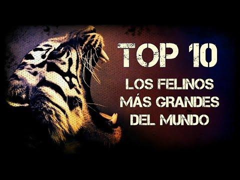 TOP 10 || LOS FELINOS MÁS GRANDES DEL MUNDO