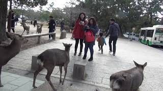 We were stunned by the number of Chinese tourists Nara Park Deer in...