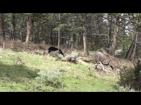 Black Bear Sow Grazing in the backcountry
