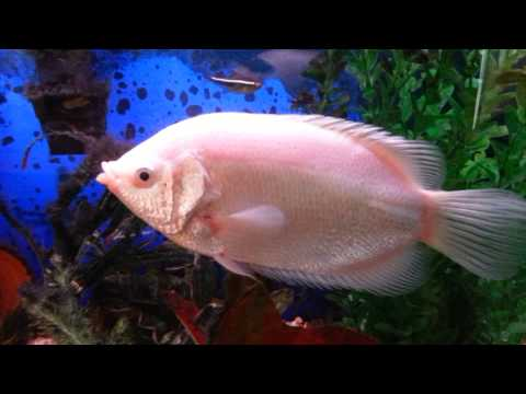 24 Year Old Kissing Gourami