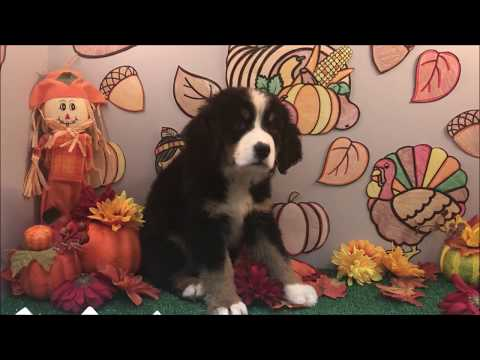 MALE BERNESE MOUNTAIN DOG PUPPY