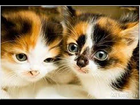 Anak Kucing Kembang Telon Lucu Kucing Kembang Telon Atau