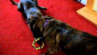 Mastiff Rottweiler Cross - Bonnie And Jasmine Playing