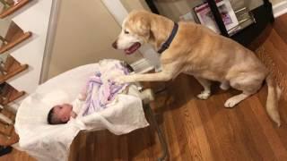 Cute yellow Labrador retriever dog rocks baby sister! thumbnail