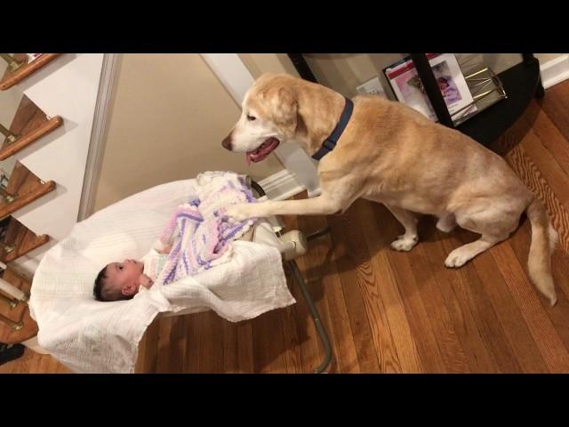Cute yellow Labrador retriever dog rocks baby sister!