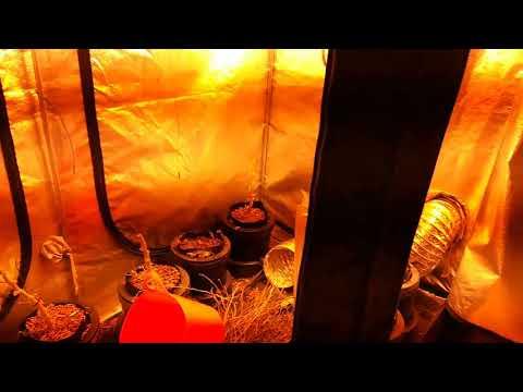 Inside cannabis farm discovered in a Rotherham loft