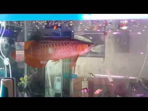 ปลามังกรแดงพาฝัน 2 บังแระ