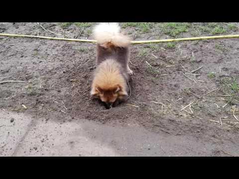German spitz digging holes
