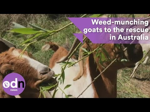 Weed-munching goats to the rescue in Australia