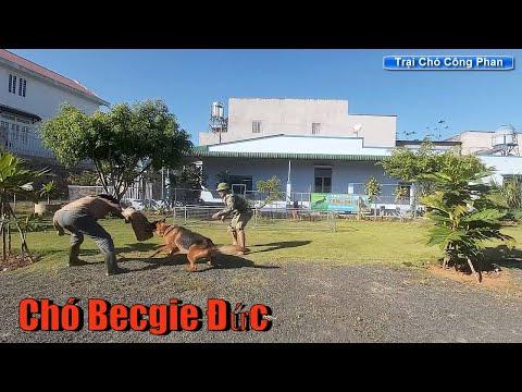 Chó Becgie Đức. Tập cắn, huấn luyện cơ bản Trại chó Công Phan. Gsd