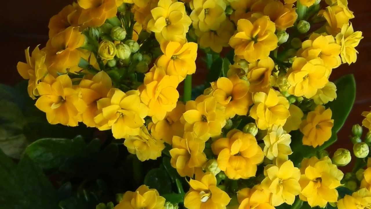 flores de jardim que suportam sol:Vaso De Flor Da Fortuna