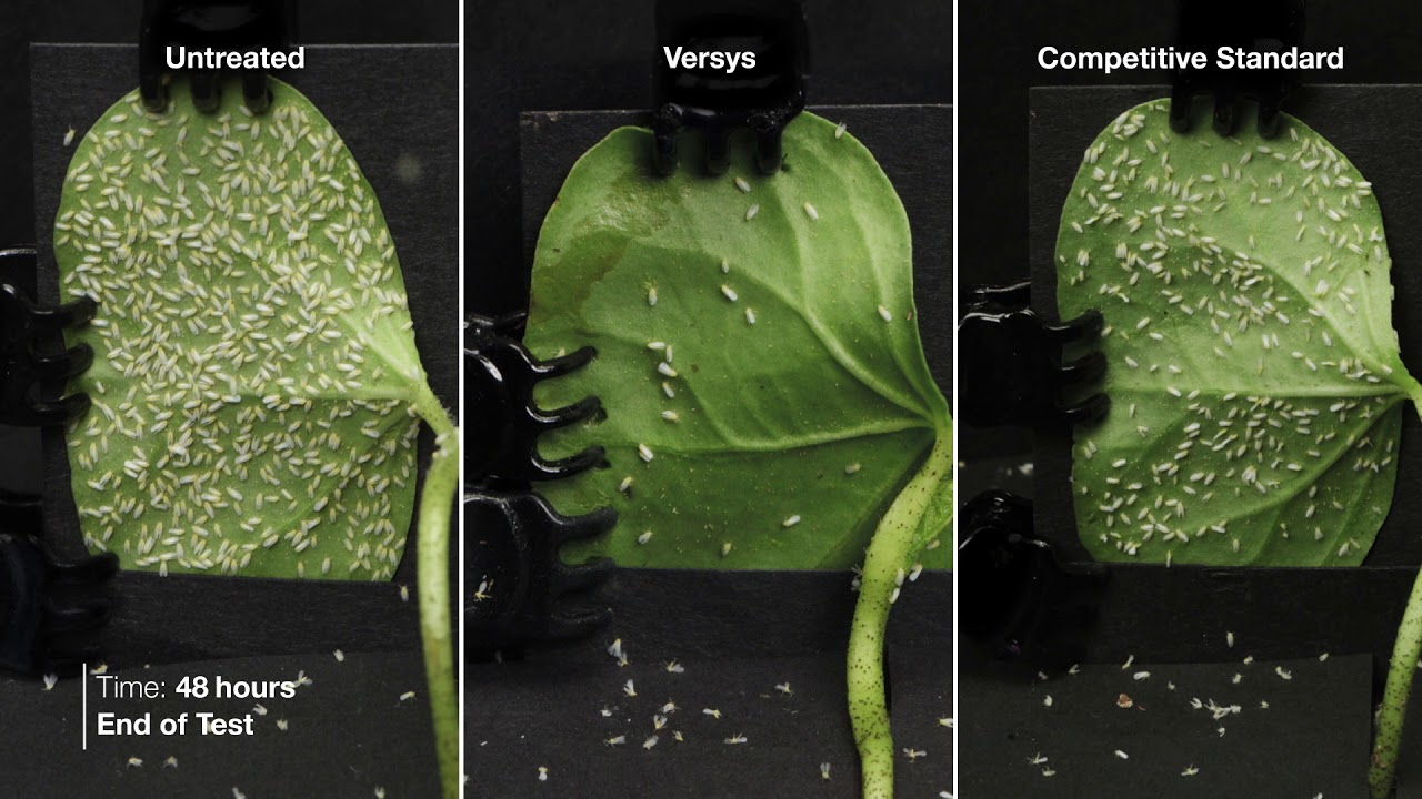 Adult whitefly control remarkable