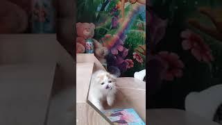 Кошечка (хайленд фолд).