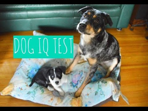 Dog Intelligence Test - How Smart are my dogs?