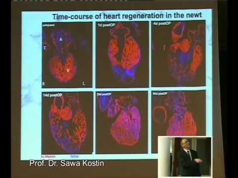 Sawa Kostin, Mycardial Regeneration and cardiac tissue engineering